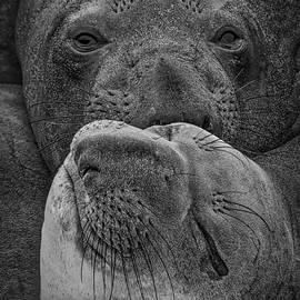 Mitch Shindelbower - Elephant Seals
