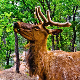 Bob and Nadine Johnston - Elk Browsing in the Grand Canyon