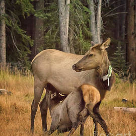 Priscilla Burgers - Elk Feeding Time