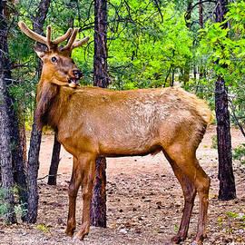 Bob and Nadine Johnston - Elk in Canyon National Park
