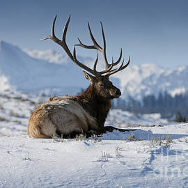 Wildlife Fine Art - Elk in Yellowstone