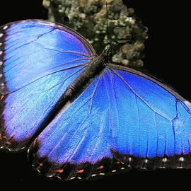 Rosalie Scanlon - Elusive Blue