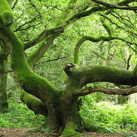 Elizabeth Debenham - Enchanted Oak Tree