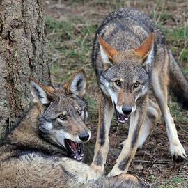 Athena Mckinzie - Endangered Red Wolves