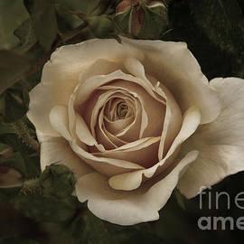 Chris Scroggins - English Garden Rose