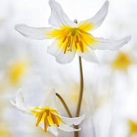Sarah-fiona  Helme - Erythronium Elegance