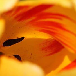 Andrea Lazar - Essence of Tulip