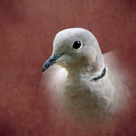 Angie Vogel - Eurasian Collard Dove
