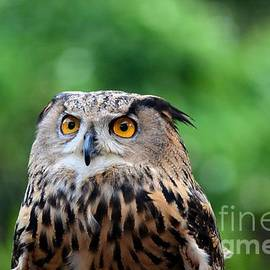 Imran Ahmed - Eurasian or European Eagle owl bubo bubo stares intently