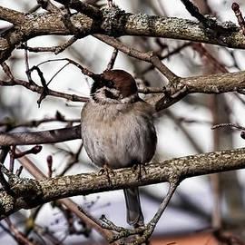 Leif Sohlman - Eurasian tree sparrow