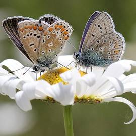 Doris Potter - European Common Blue Butterflies