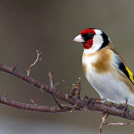 Torbjorn Swenelius - European Goldfinch