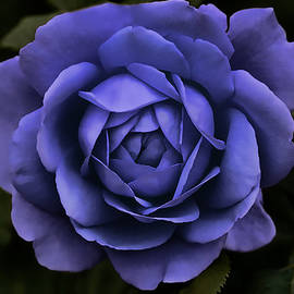 Jennie Marie Schell - Evening Purple Rose Flower