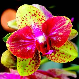 Silvie Gunawan - Eye Catching Orchid