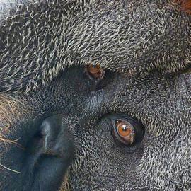 Margaret Saheed - Eyes Of The Sumatran Orangutan