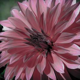 Athena Mckinzie - Faded Pink Dahlia
