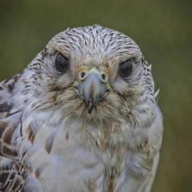 Mitch Shindelbower - Falcon