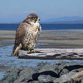 George Cousins - Falcon on a log