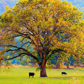 Michele Avanti - Fall Tree with Two Cows