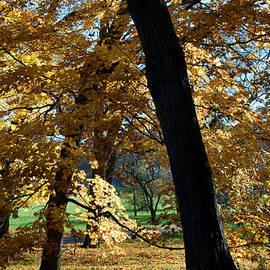 Glenn Morimoto - Fall trees and foliage