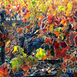 Carol Groenen - Light through Fall Vineyard