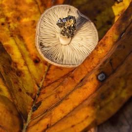 LeeAnn McLaneGoetz McLaneGoetzStudioLLCcom - Fall Wild  Mushroom