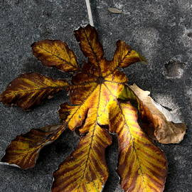 Christiane Schulze Art And Photography - Fallen Fall Leaf