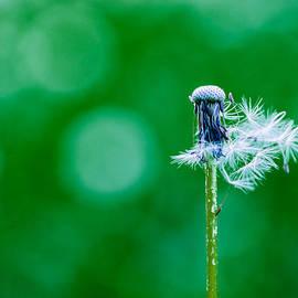 Alexander Senin - Fallen off dandelion - Featured 3