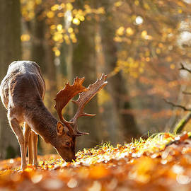 Roeselien Raimond - FAllow Deer in Autumn Mood