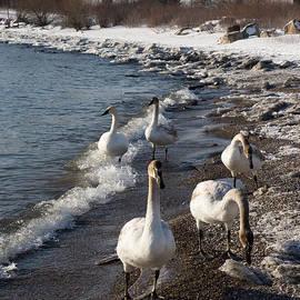 Georgia Mizuleva - Family Walk on the Beach - Wild Trumpeter Swans Lake Ontario Toronto