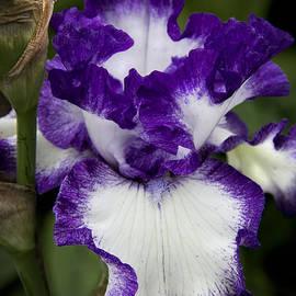 Michael Friedman - Fancy Iris