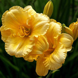 Rona Black - Fancy Yellow Daylilies
