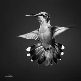 Christina Rollo - Fantail Hummingbird Square Bw