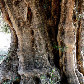 Colette V Hera  Guggenheim  - Featured Old Ancient Olive Tree Almeria Spain