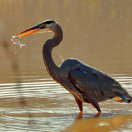 Paul Lyndon Phillips - Feeding Great Blue Heron in Rural  NC - c3197g