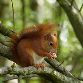 Sharon Bennett - Feeding red squirrel
