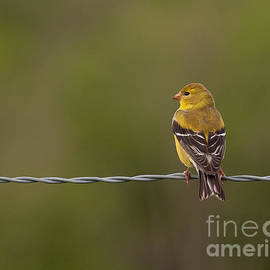 Douglas Stucky - Female American Goldfinch