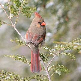 Judy Genovese - Female Cardinal in the Pines