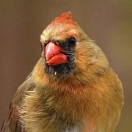 Sandi OReilly - Female Cardinal