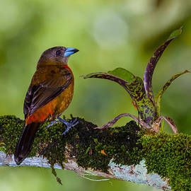 Craig Lapsley - Female Cherries Tanager 9101