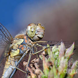 Jonathan Hughes - Female Common Darter Dragonfly 2