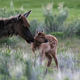 John Rockwood - Female Elk and new born fawn