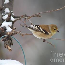Kassia Ott - Female Goldfinch