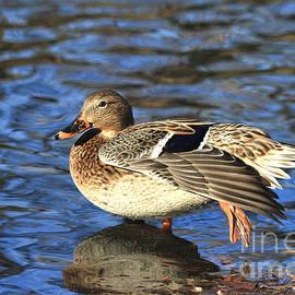 Teresa Zieba - Female Mallard Duck