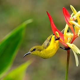 Imran Ahmed - Female Olive Backed Sunbird clings to Heliconia plant flower