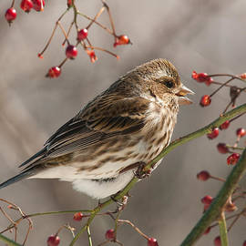 Lara Ellis - Female Purple Finch On Berries