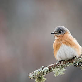Christy Cox - Feminine Beauty - Female Eastern Bluebird