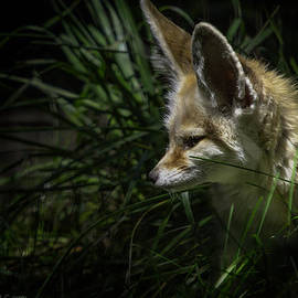 LeeAnn McLaneGoetz McLaneGoetzStudioLLCcom - Fennec Fox spotted on his nightly prowl