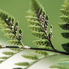 Lisa Knechtel - Fern Seeds