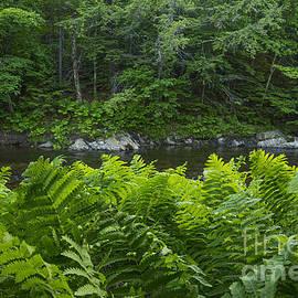 Alana Ranney - Ferns Along the Stream
